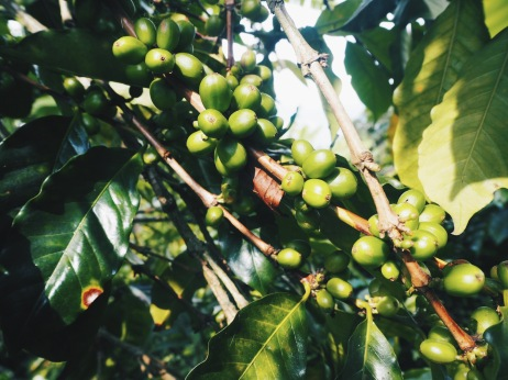 Coffee bean plant - the cherries turn red when they're ready to be picked.