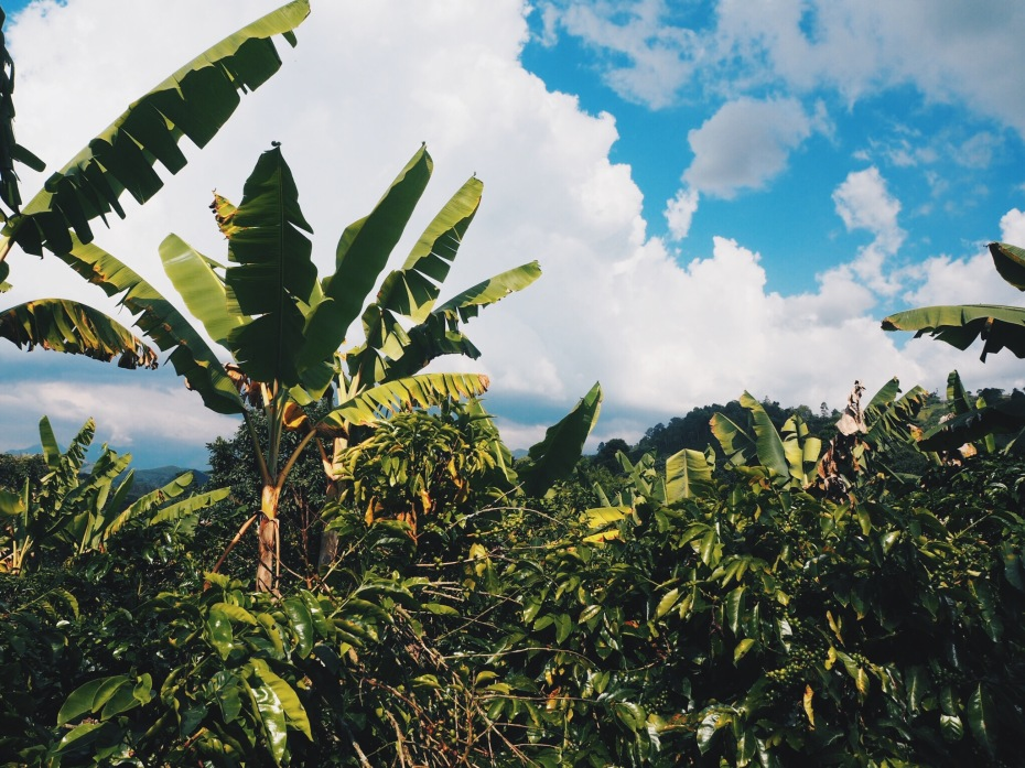 Organic coffee farm with a multitude of plants to work in harmony together. Banana trees provide shade to the coffee plants.