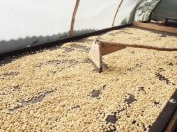 Drying the coffee beans, this process takes about 5 days.