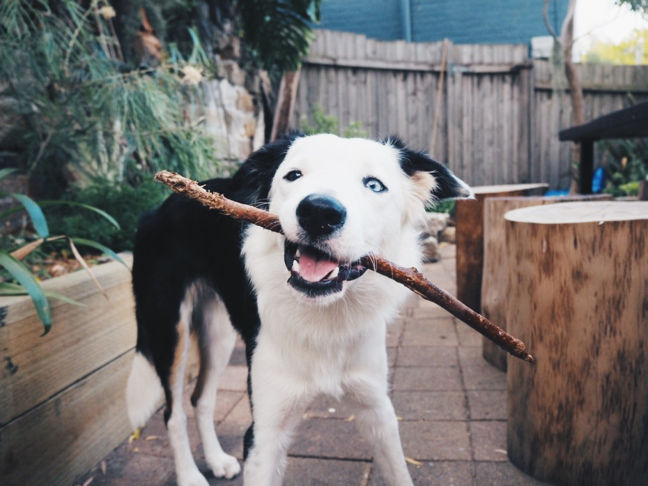 Charlie dog with stick